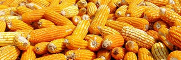 maize cultivation