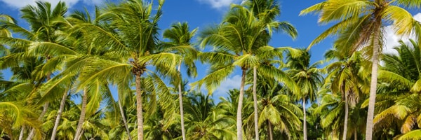 coconut tree cultivation