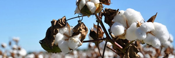 cotton crop cultivation in punjab