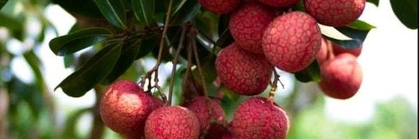 litchi cultivation