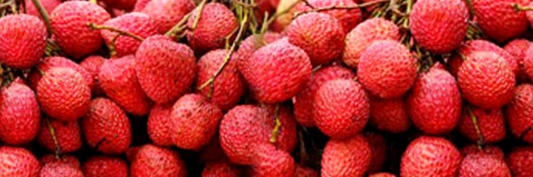 litchi cultivation