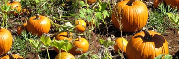 pumpkin cultivation