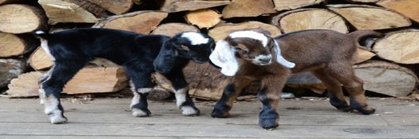 बकरियों के मेंमनों के रोग