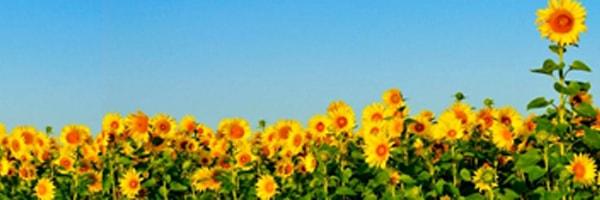 सूर्यमुखी की खेती