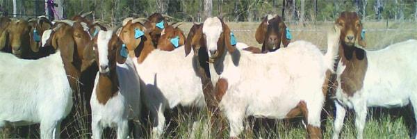 open access technologies for goats