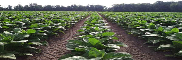 tobacco nursery management