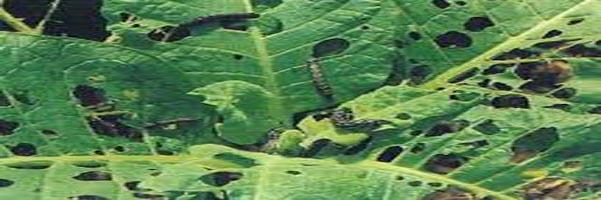 tobacco pests management