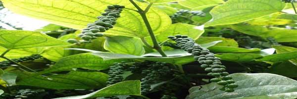 काली मिर्च की खेती