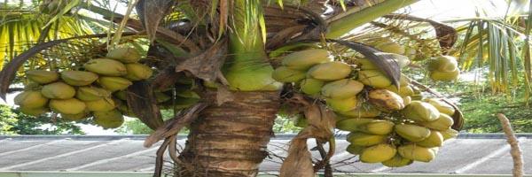 नारियल की खेती
