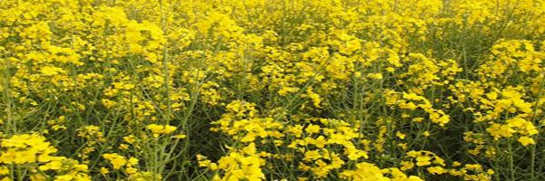 mustard cultivation