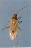 earhead bug