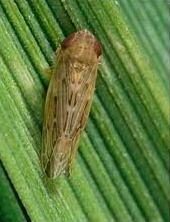 ragi leaf hopper