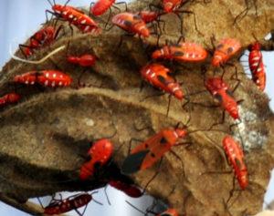 Red cottonbug