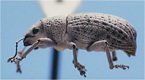 ash weevil