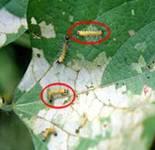 bihar hairy caterpillar