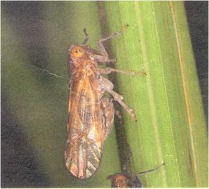 brown plant hopper