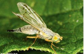 safflower bud fly