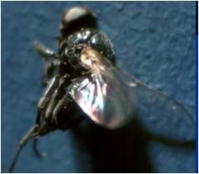 gram Pod fly