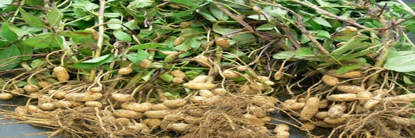 groundnut biofertilizers