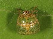 lab lab bug