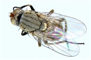 stem fly