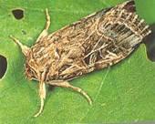 tobacco cut worm
