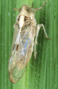 white backed plant hopper