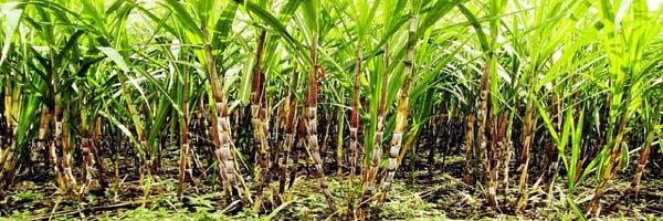 गन्ने की खेती