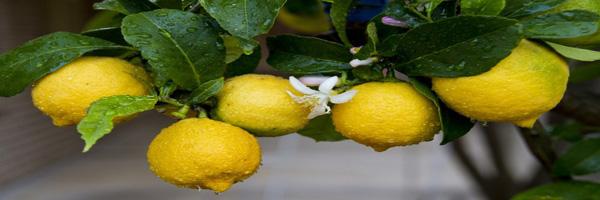 नींबू वर्गीय फलों के रोग