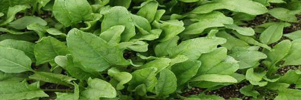 पत्तेदार सब्जियों की फसल सुरक्षा
