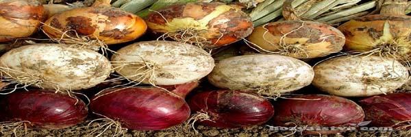 शल्क कन्दीय फसलों की देखभाल