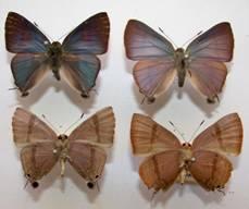 Anar butterfly