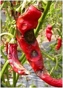 Fruit rot of chilli