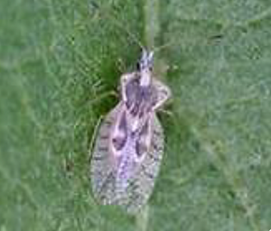 Lace wing bug