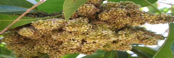 Mango diseases