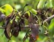 Pear fire blight