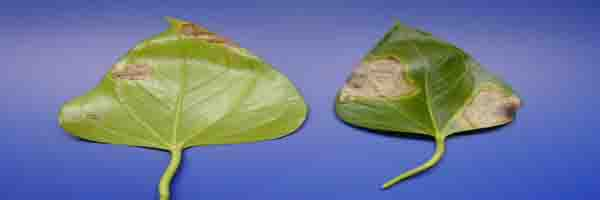 anthurium pests