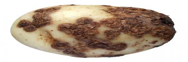 Potato diseases