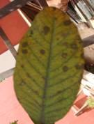 algal leaf spot