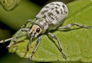 brinjal ash weevil