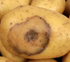 bacterial soft rot of Potato