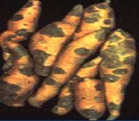 black rot of sweet potato