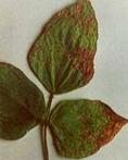 blackgram bacterial leaf blight