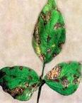 blackgram cercospora leaf spot