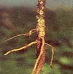 blackgram stem canker