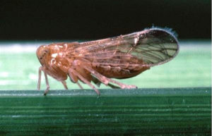 brown leaf hopper