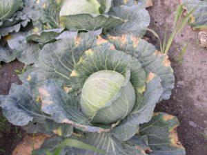 cabbage black rot