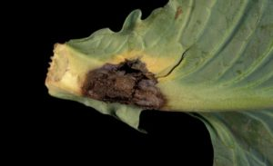 cabbage root rot