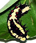 cinnamon butterfly