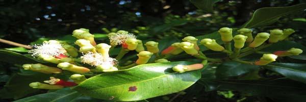 clove diseases